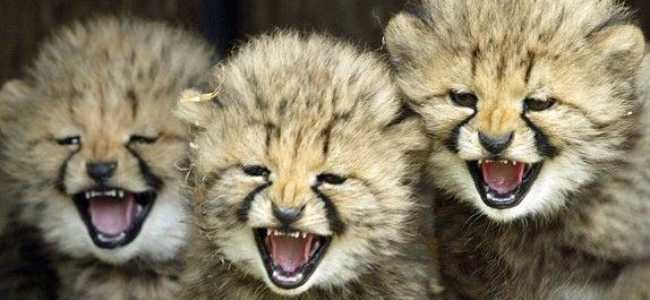 Baby Cheetah Camp Camp